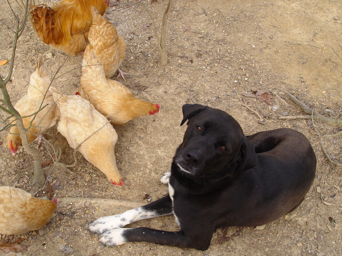 Here's my dog Badger with his chicken buddies.