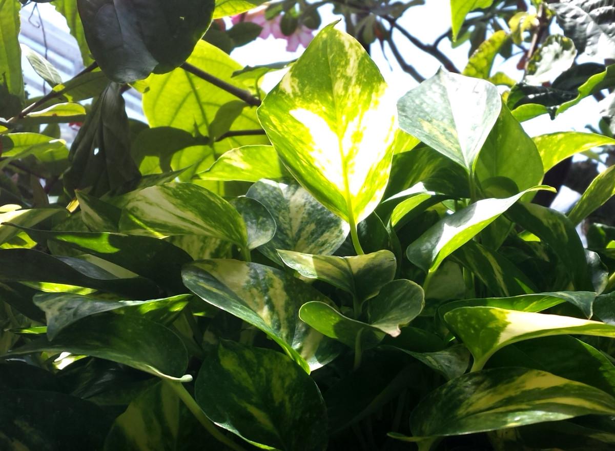 Pothos plant (Devils Ivy) in sunlight