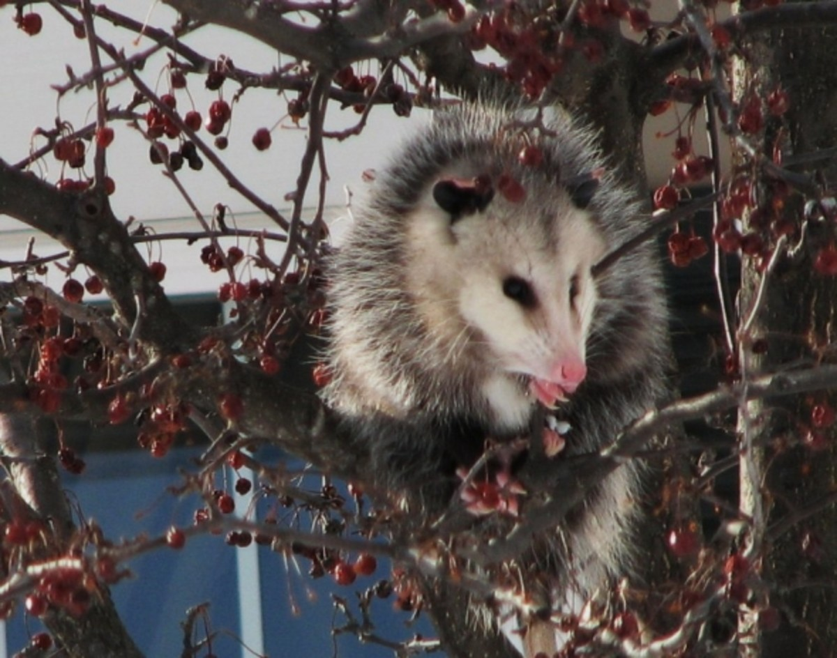 Possum in the Crabapple Tree