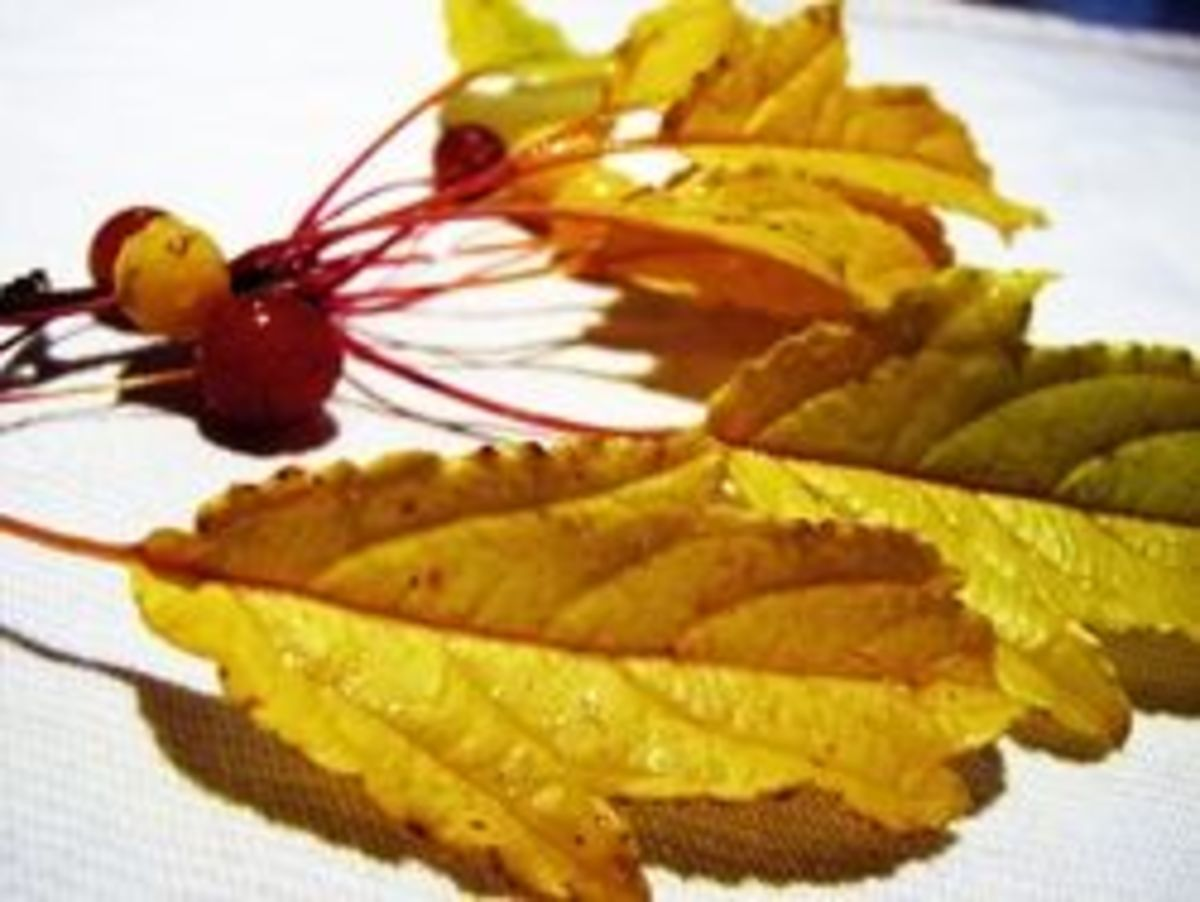 Close-up of Golden Raindrops Oak-shaped leaves and yellow and gold fruit in Fall