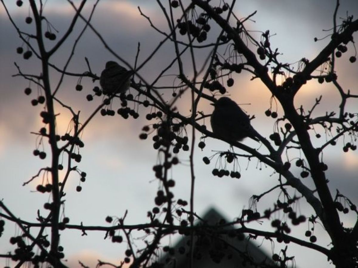 More finches in the crabapple tree.