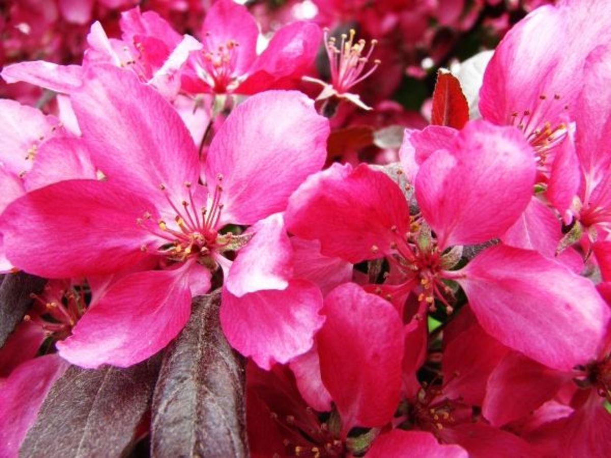 "Pink crabapple tree, ""Profusion."""