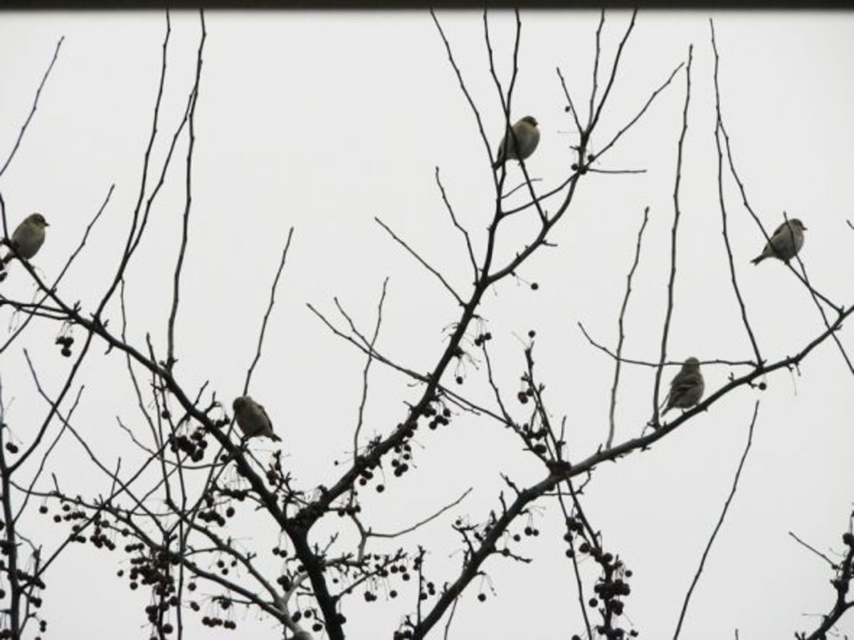 A flurry of finches enjoying the crabapples.