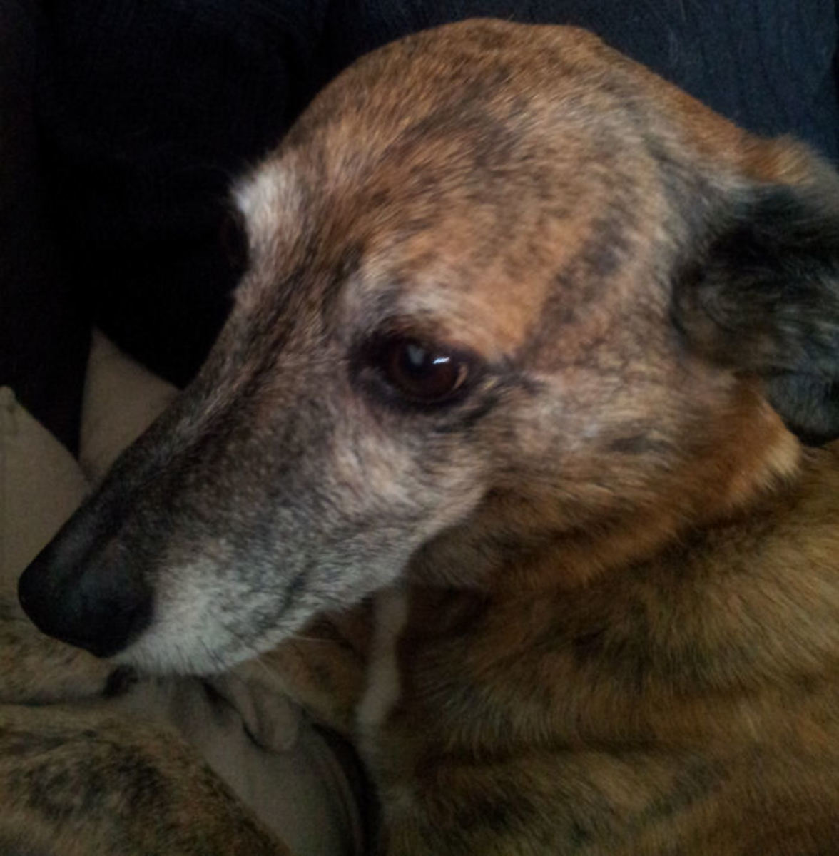 This is Tigger,  one of my Lurchers