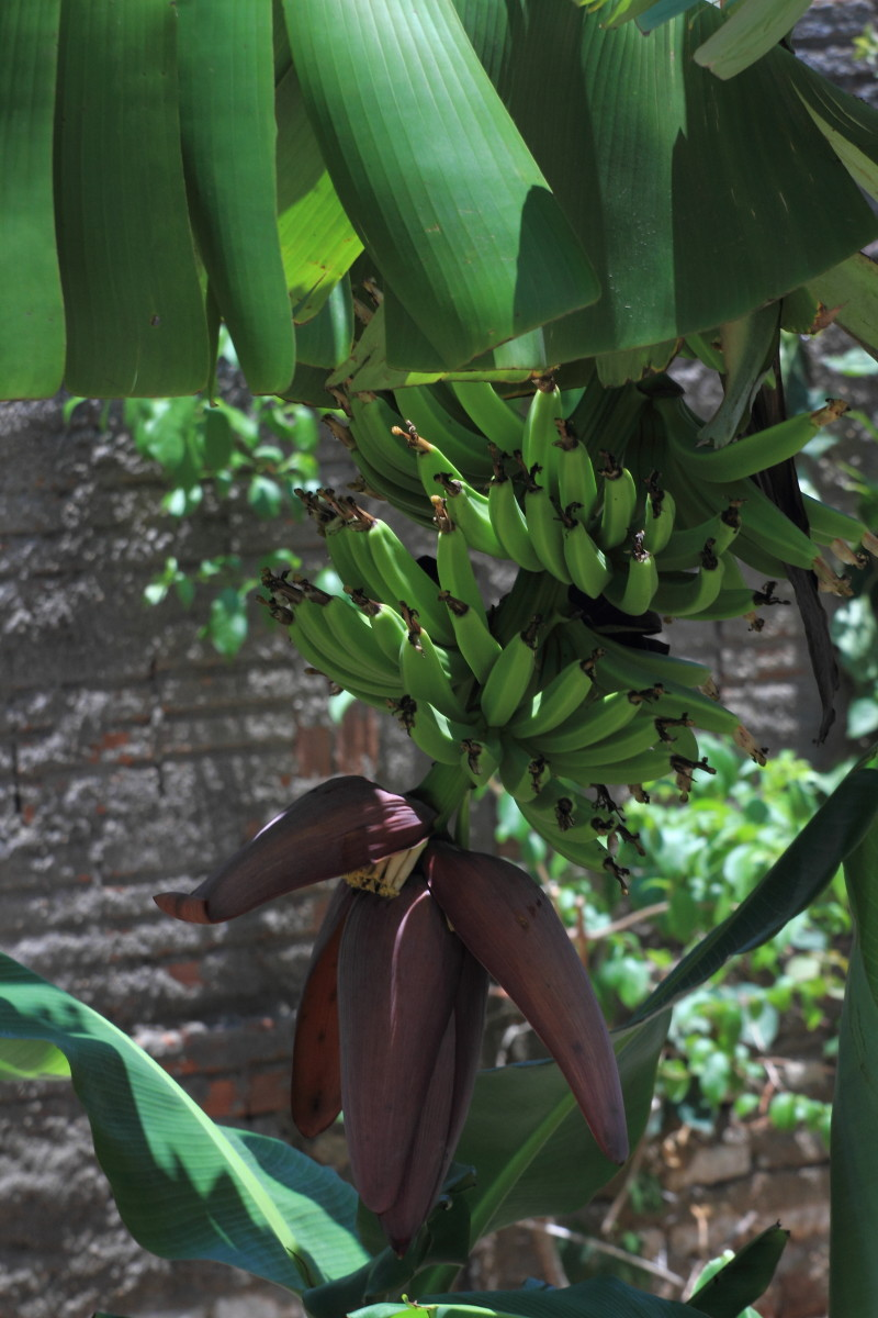 A bunch of green bananas with flower