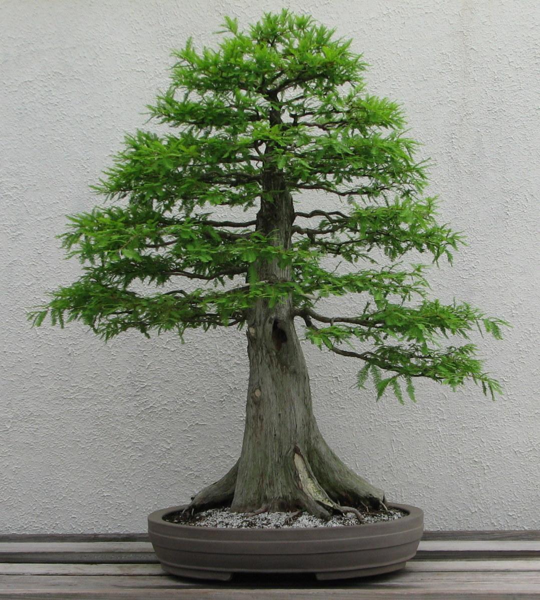 Upright Style bald cypress.