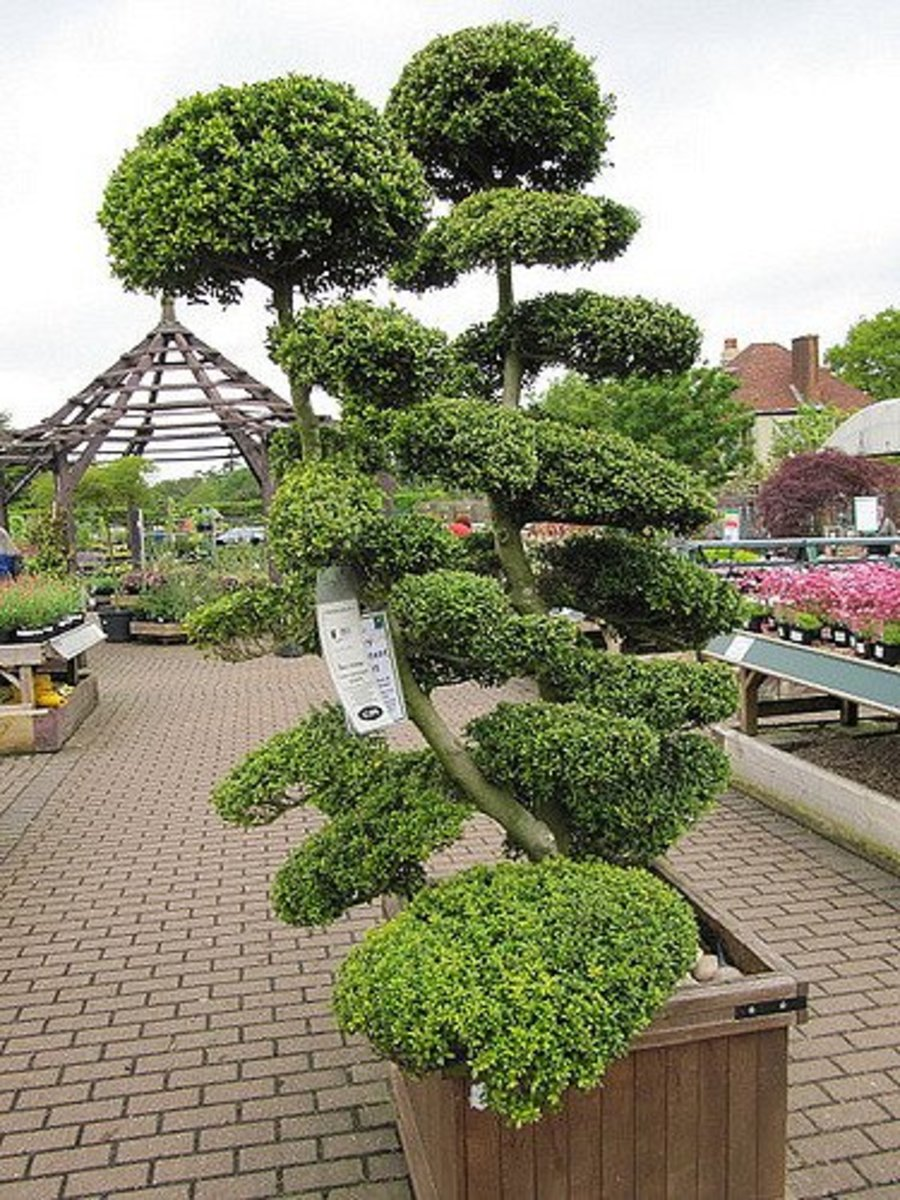 Large topiary bonsai.