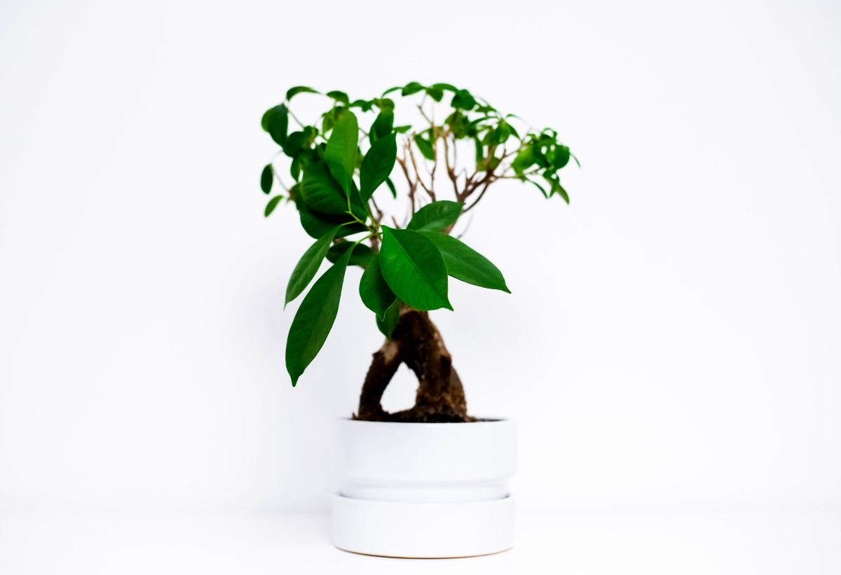 How to Grow and Style Bonsai