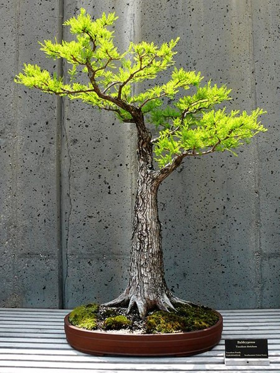A strong trunk on a Formal Upright style Bonsai.