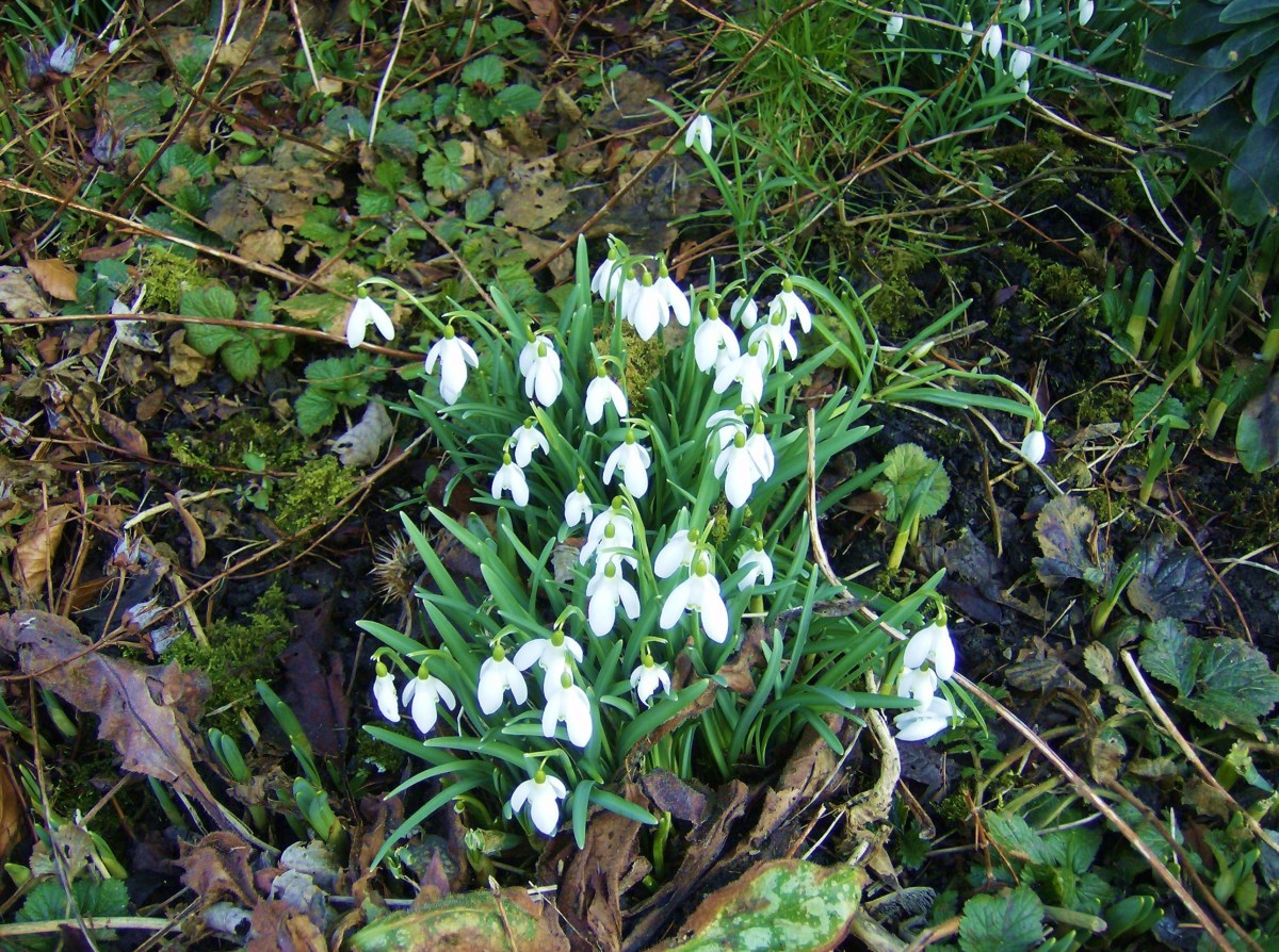 Snowdrops blooming in springtime.