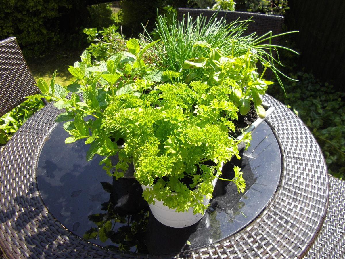 Pots of living herbs