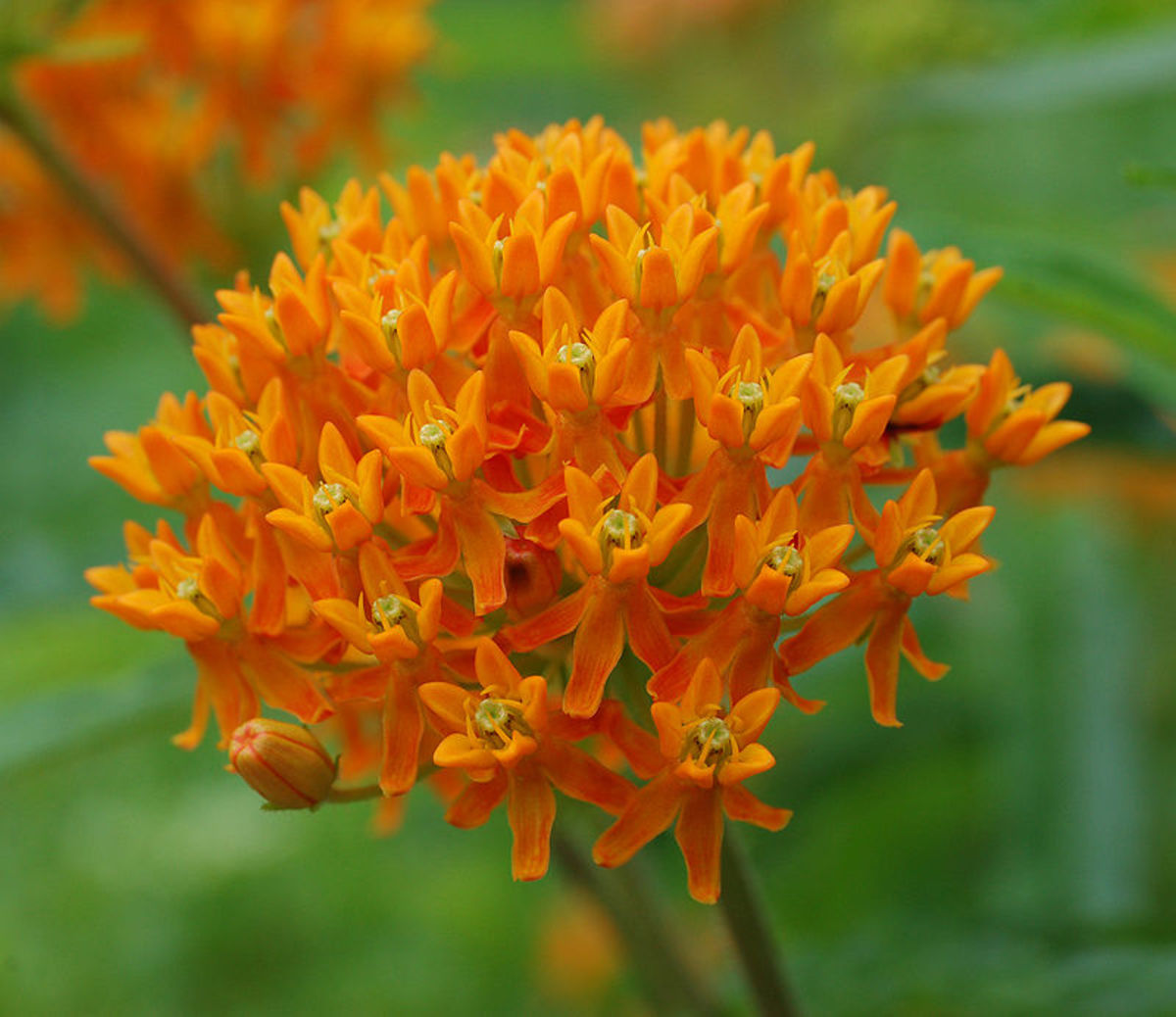 A. tuberosa, also known as Butterasfly Weed or Pleurisy Root.