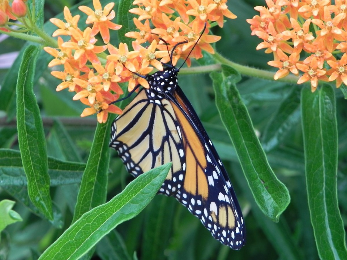 How to Grow Milkweed to Attract Monarch Butterflies