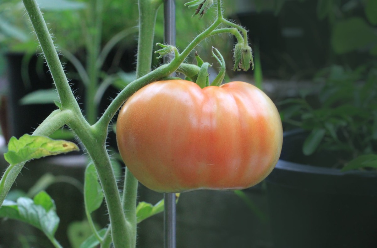 growing-tomatoes-in-containers-a-small-space-bumper-crop