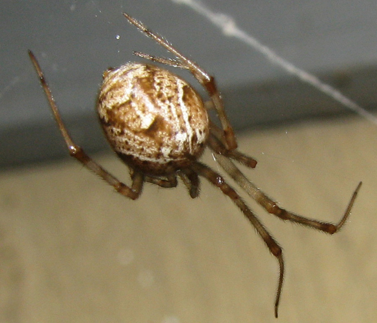 But common house spiders actually look more like mottled bird eggs than a black widow.
