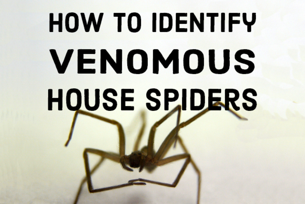 How to Identify Venomous House Spiders