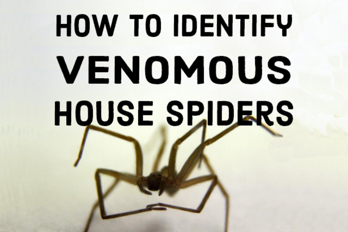 How to identify venomous house spiders.