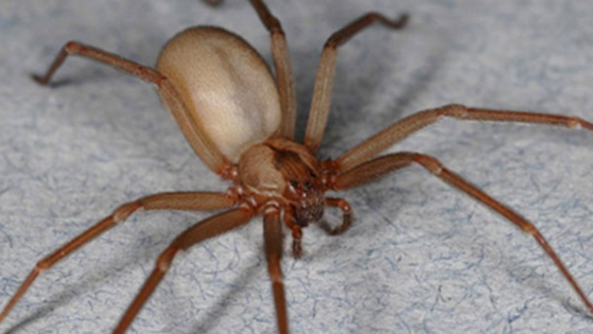 Brown recluses have a distinctively smooth appearance compared to most other spiders their size.