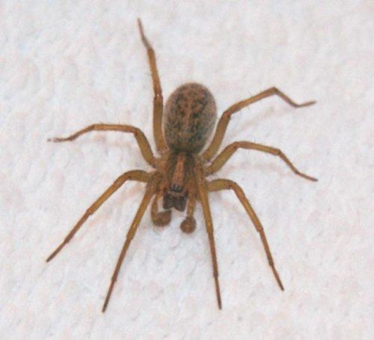 Hobo spiders are often confused with giant house spiders or brown recluses.
