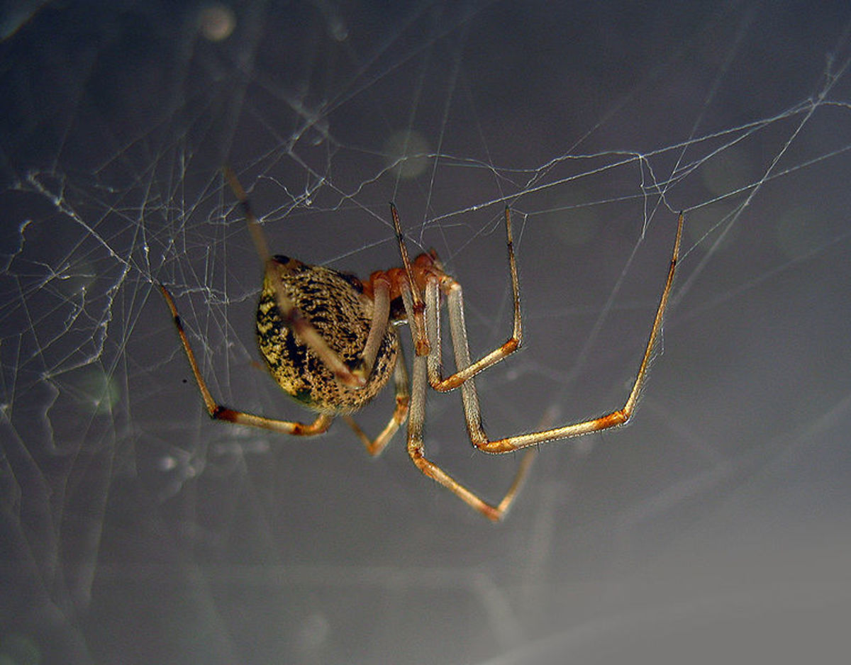 Common house spiders are excellent web builders.