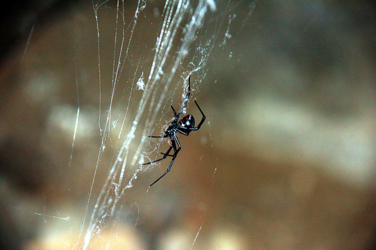 Black widows are experts at web building, and are extremely helpful in vineyards where they catch tiny insects such as gnats and flies.