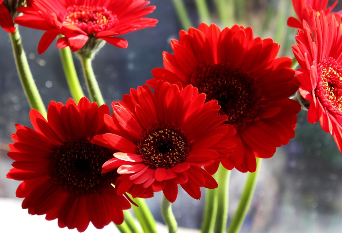 Bright red Gerberas are a striking addition to a garden or arrangement.