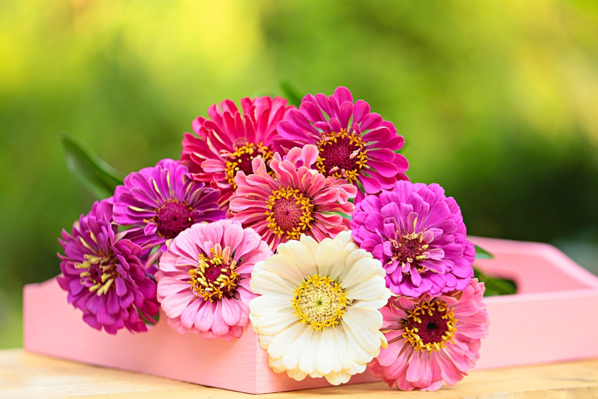 Gerbera daisies come in bright and pastel colored blooms.