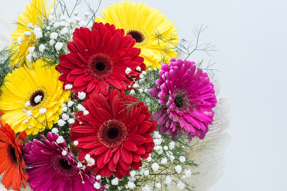 Gerbera daisies shine in flower arrangements.