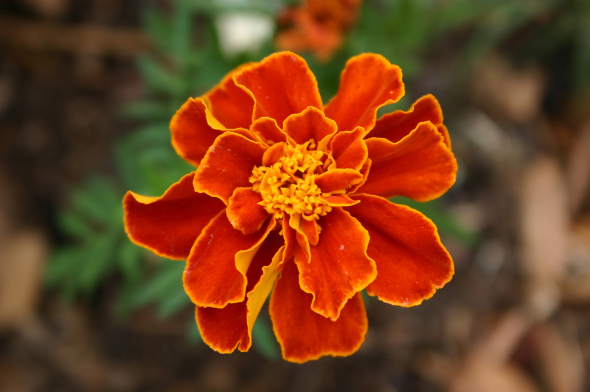 Single Marigold Flower