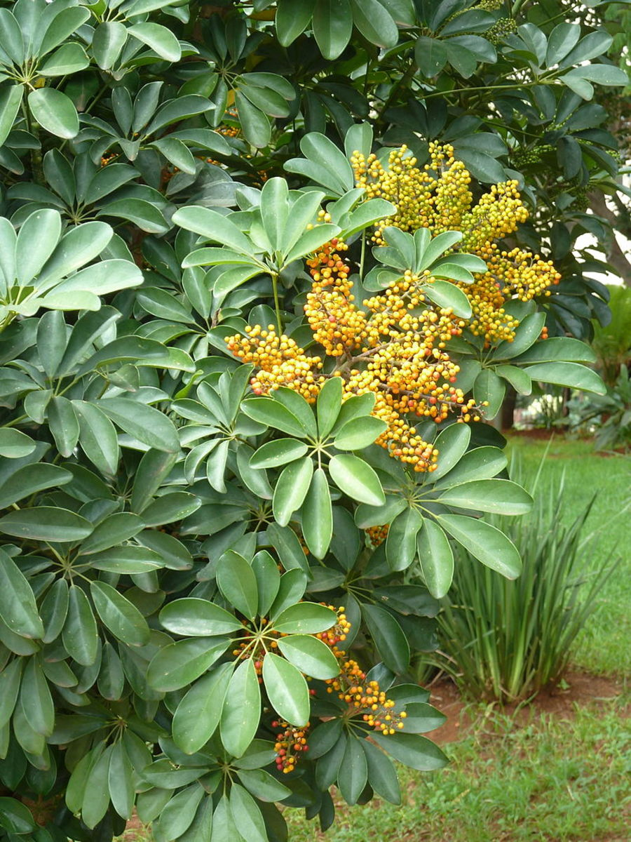 Umbrella plant drupes.  Note how they grow in panicles which look like fingers.