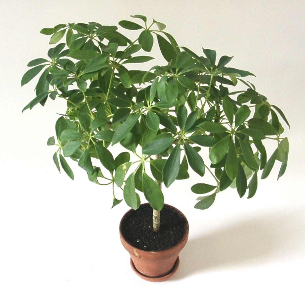 how-to-grow-an-umbrella-plant-indoors-or-outdoors