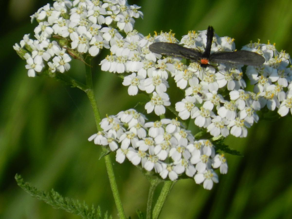 Most insects love yarrow.