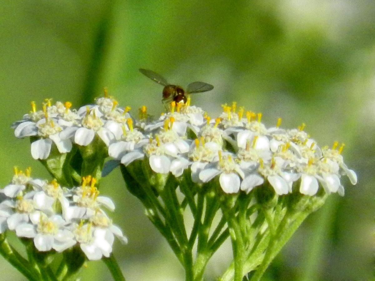 Bees love yarrow. Keep some in the garden to attract pollinators!