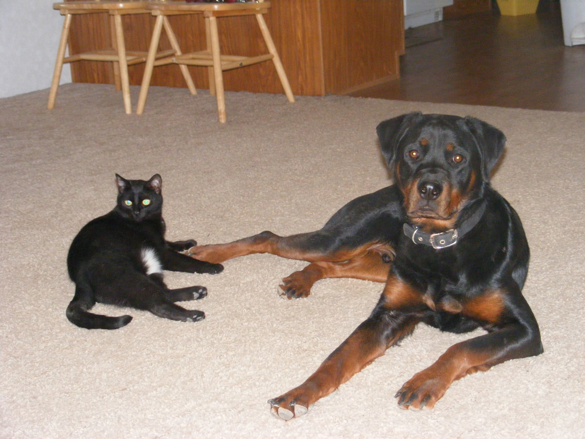 Rottweilers raised with cats as puppies are more likely to get along with kitties.