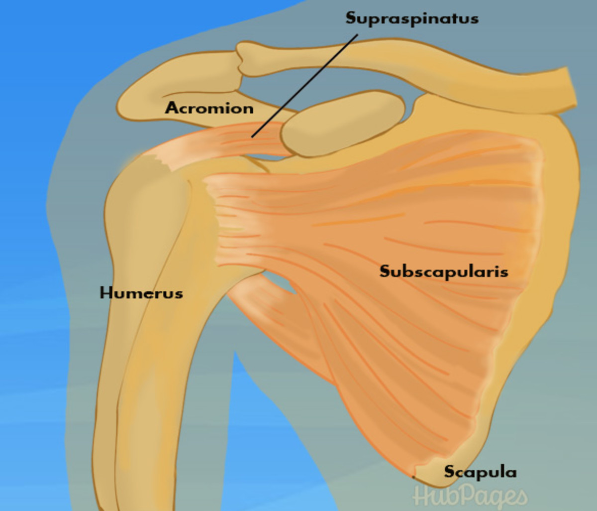 Front view: shoulder joint with rotator cuff muscles