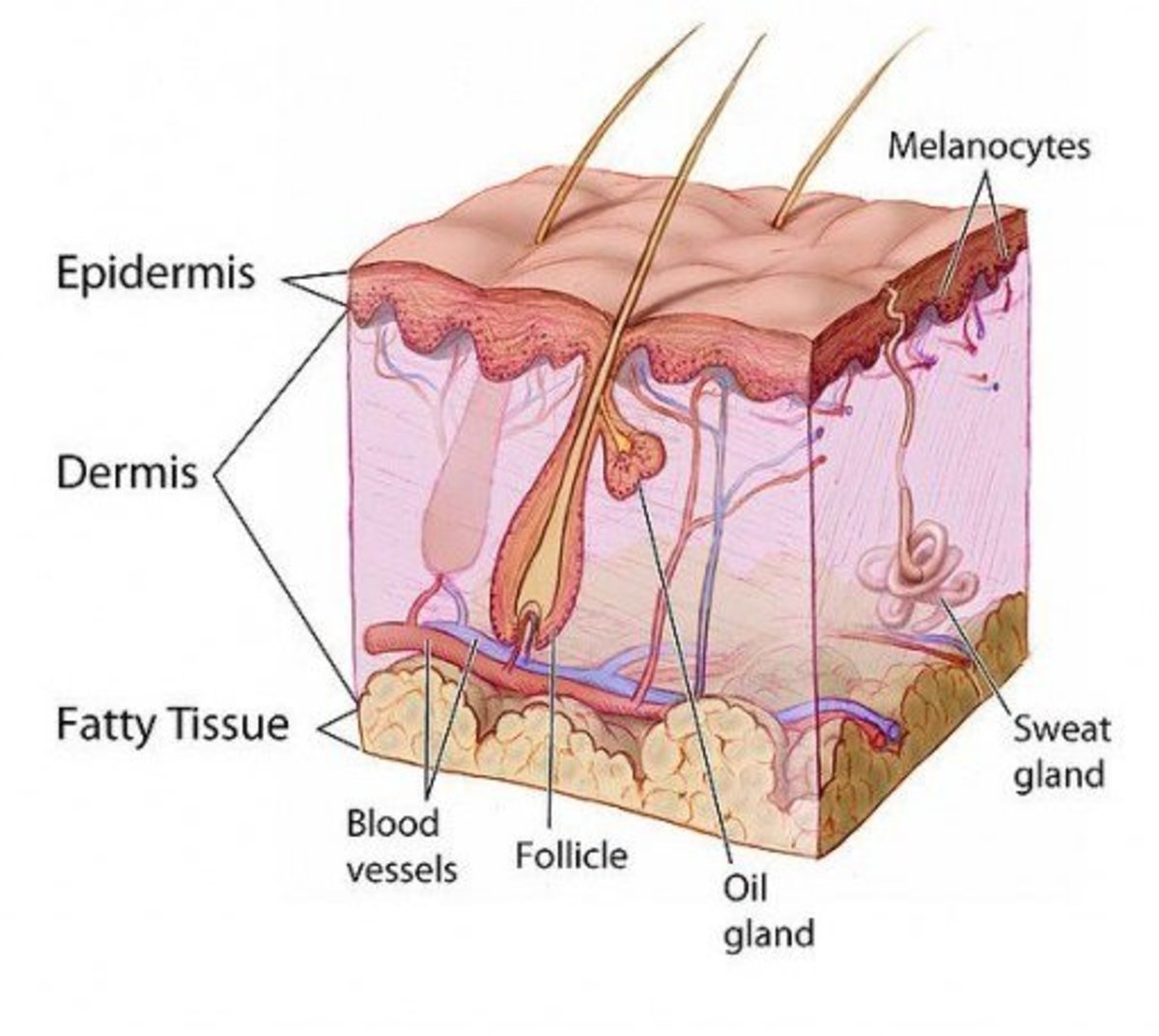 Cross-section of human skin showing all layers. The 5th and 6th-degree burns damage all of these tissues and continue to the bone.