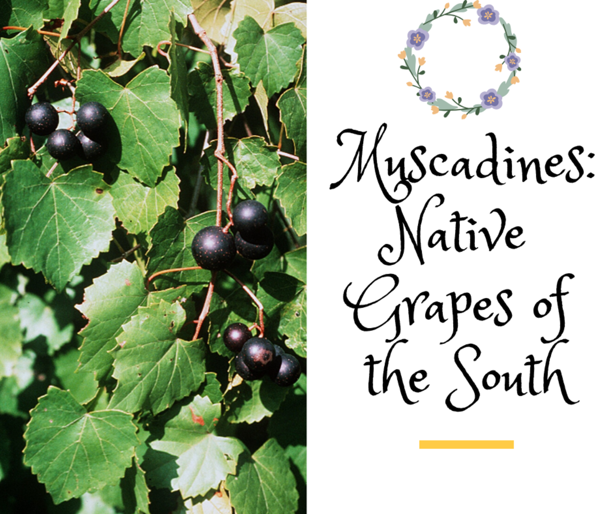 Muscadines: Native Grapes of the South