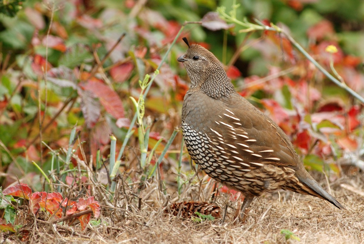 Quail are small game birds that are easy to breast
