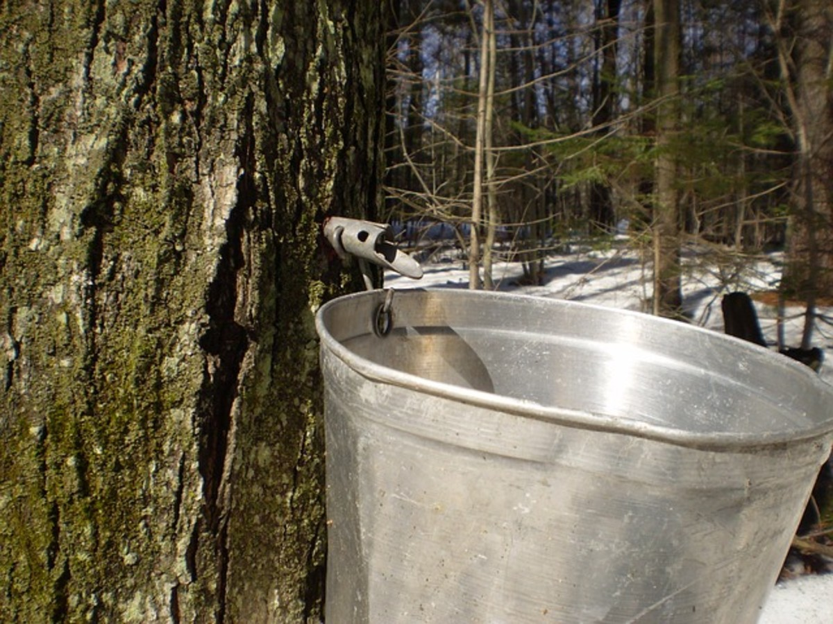Collecting sap from a sugar maple tree in January.