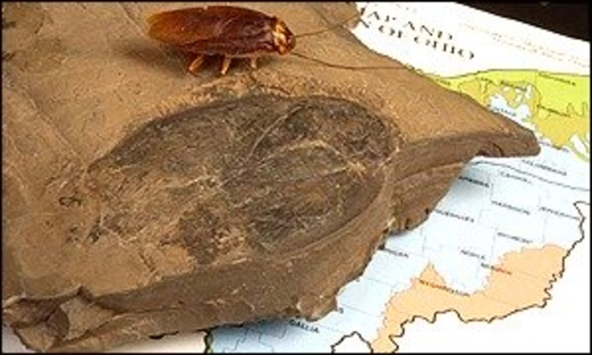 The biggest fossil cockroach ever found next to a modern day roach.