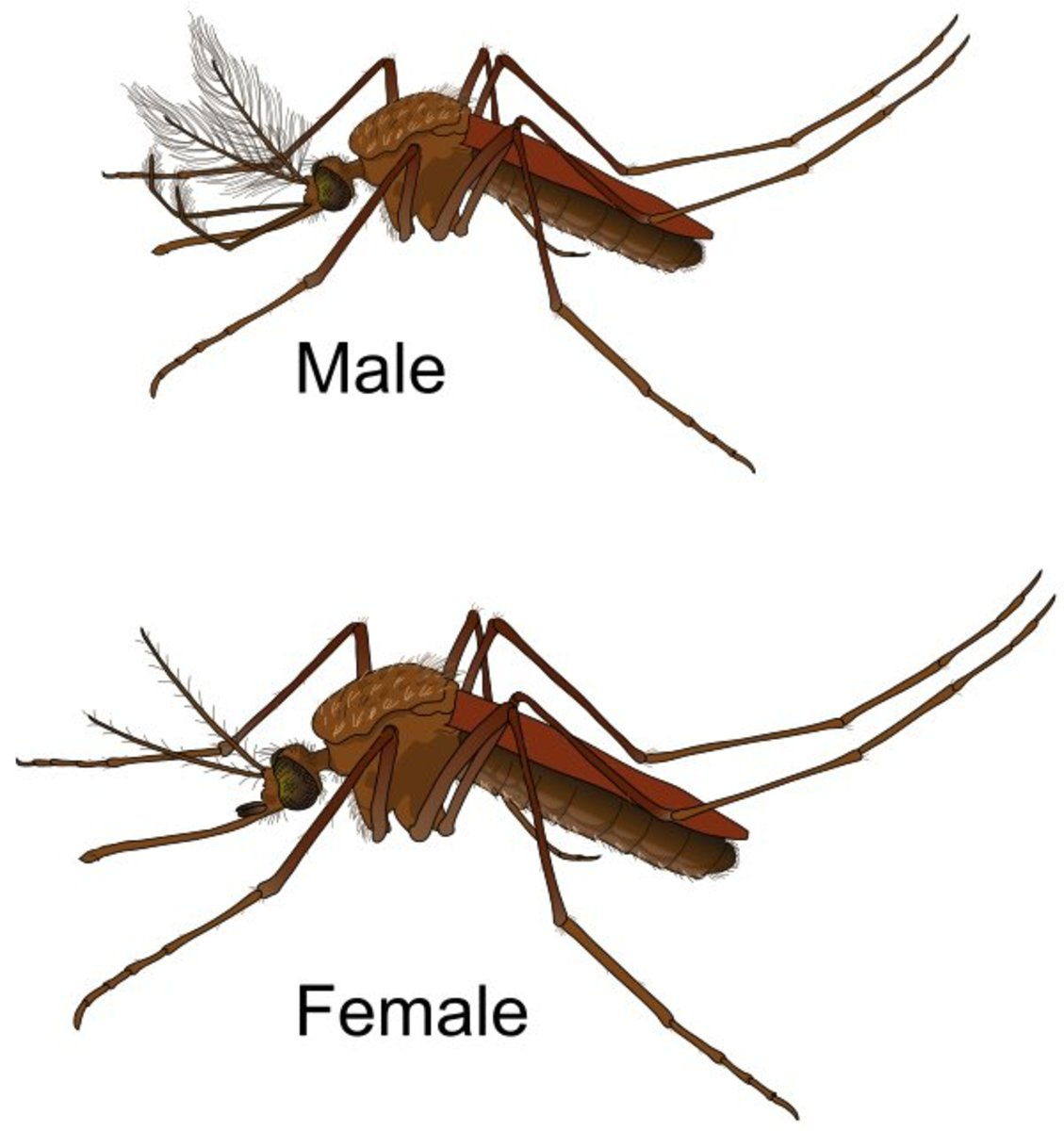 Male and female mosquitoes.