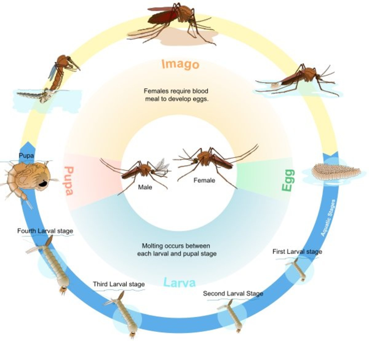 Life cycle of a mosquito.