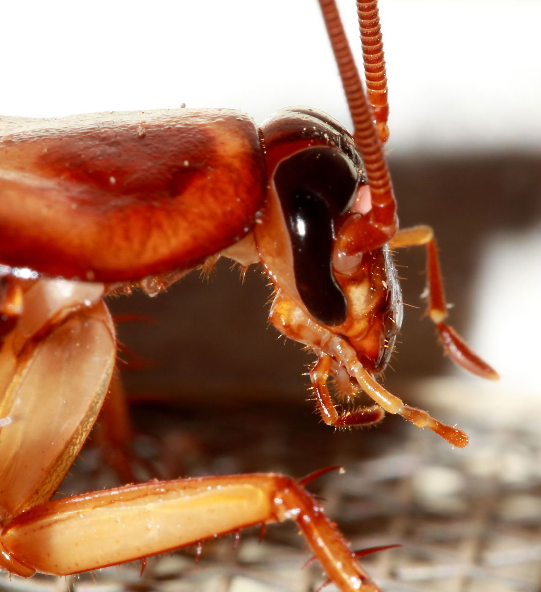 Understanding Cockroaches and How to Get Rid of them