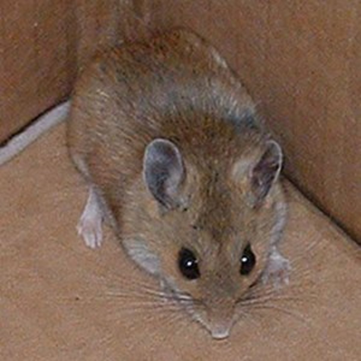 The Best Ways To Catch A Mouse Dengarden