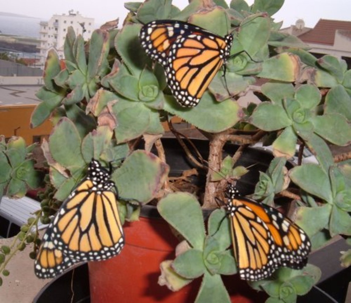 how-to-attract-monarch-butterflies-to-your-garden
