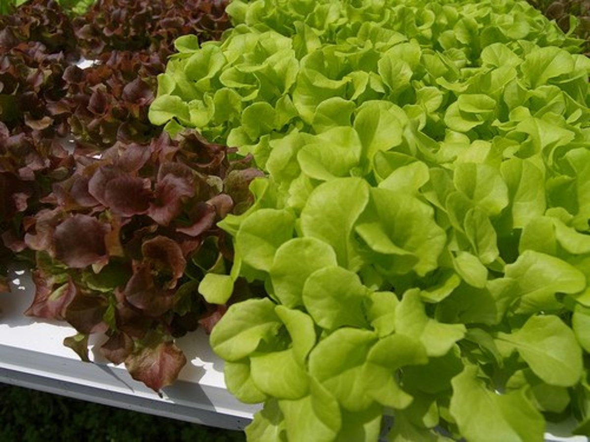 Delicious looking hydroponic greens.  Photo Credit: http://www.flickr.com/photos/jpck/3389041192/ under Creative Commons Attribution License