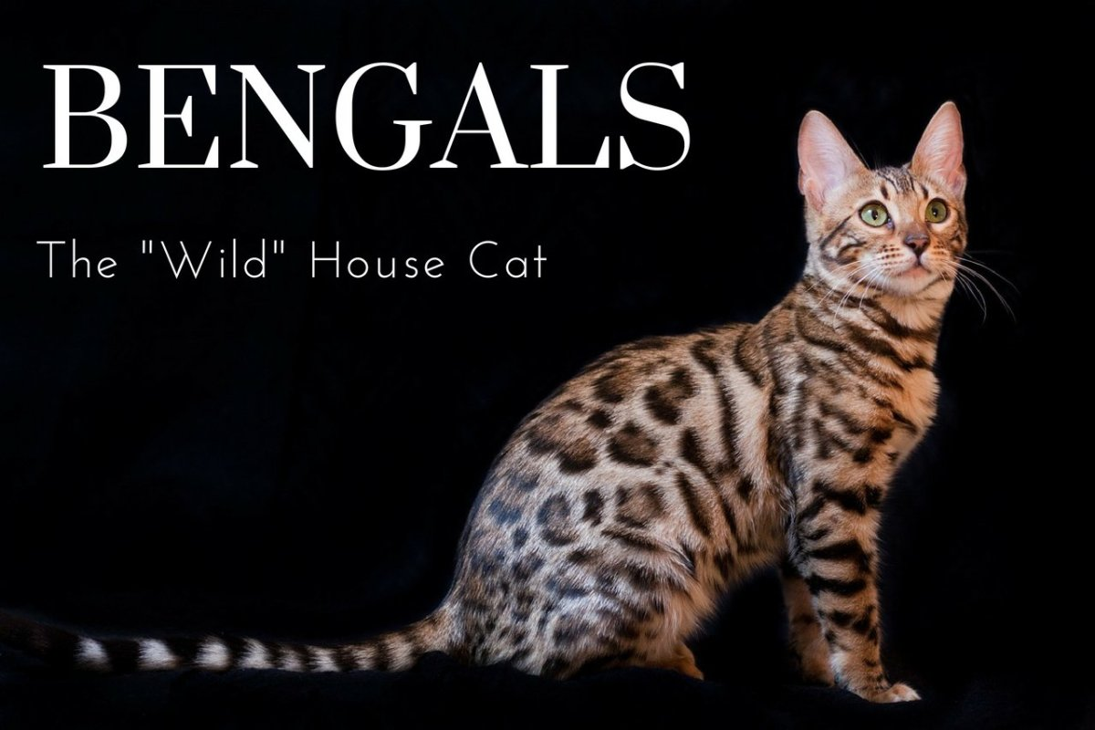 An adult Bengal with the well-known and popular rosette coat patterning.