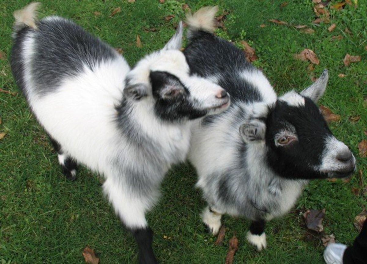 Female Pygmy Goat