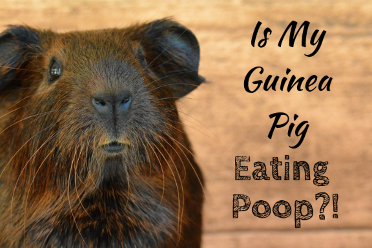 It may look like your guinea pigs are eating poo, but they're actually eating something else that's crucial for their health.
