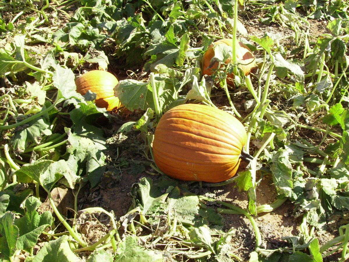 A Jack-O-Lantern to be growing in a pumpkin patch awaiting Halloween.